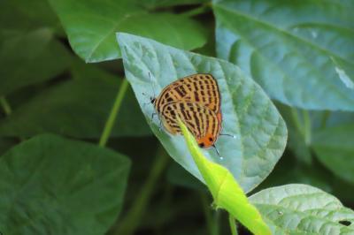 2019年森のさんぽ道で見られた蝶⑰ウラナミアカシジミ、シロチョウ類がかなり見られました