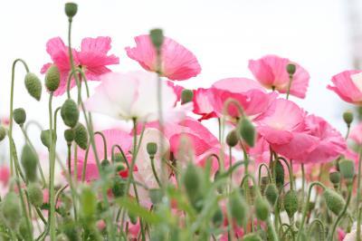 ひなげしの花が揺れる愛知牧場&名古屋市千種公園の清楚なゆり♪