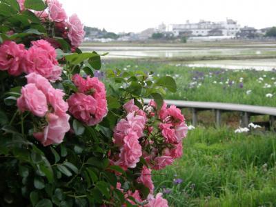 久喜市菖蒲の菖蒲城址公園の菖蒲園へ