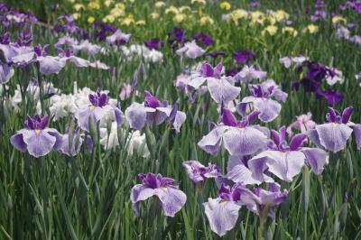 見頃の花菖蒲と咲き始めた紫陽花を愛でに~京都府立植物園~