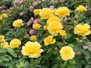京成バラ園満開のバラ