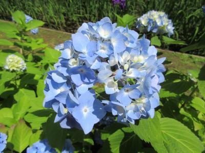 紫陽花と花菖蒲咲く明月院へ