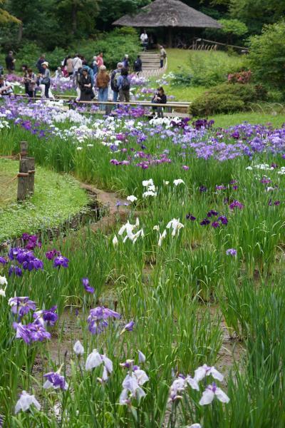 20190609-2 原宿 明治神宮御苑は、花菖蒲の季節です