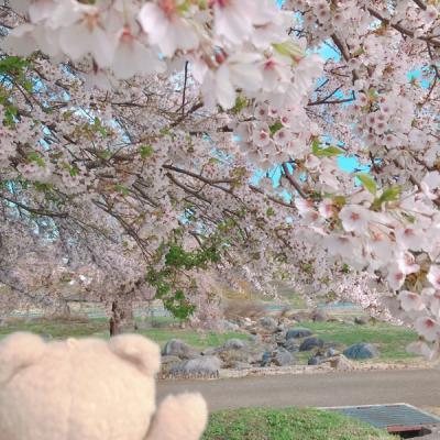 山形県、新庄市、泉田河川公園の桜が満開でした 2019のGW