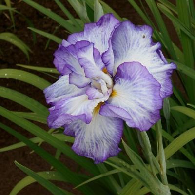 花しょうぶ IN  吹上しょうぶ園