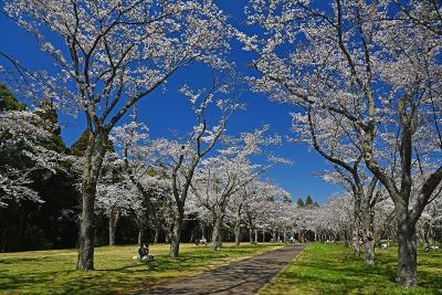 お花見2019 in 千葉市内(栄福寺・平和公園・昭和の森・泉自然公園+富田の芝桜)