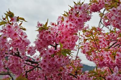 風情など 無きもまた良し 河津の桜