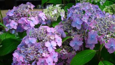 神戸市立森林植物園へ、アジサイの花を観に行きました 中巻。
