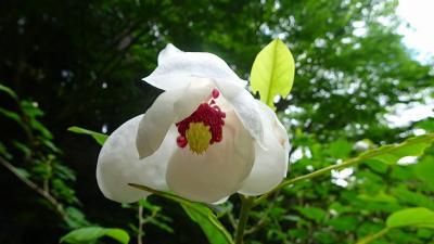 神戸市立森林植物園へ、アジサイの花を観に行きました 下巻。