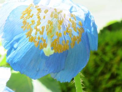 天上の妖精   ヒマラヤの青いケシ