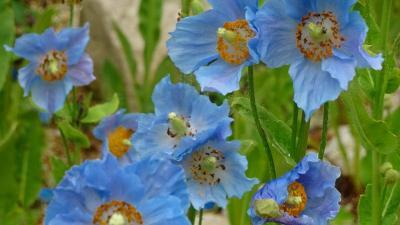 六甲高山植物園へヒマラヤの青いケシの花を見に行きました(2) 入園から上り 前編。