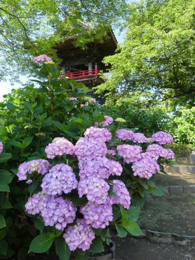 「能護寺」のアジサイ_2019_ほぼ見頃、綺麗に咲いています(埼玉県・熊谷市)