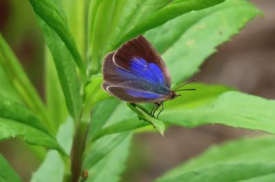 2019年森のさんぽ道で見られた蝶⑳ムラサキシジミ、アカシジミ、ウラナミアカシジミ、ルリシジミ等