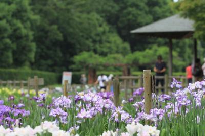 奈良県営「馬見丘陵公園」で花しょうぶ、バラ、あじさいを見てきました。2019年6月2日