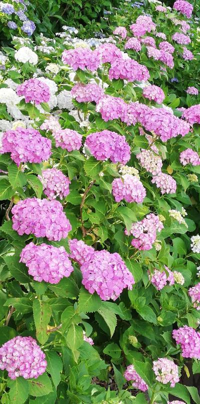 茨城で紫陽花なら二本松寺