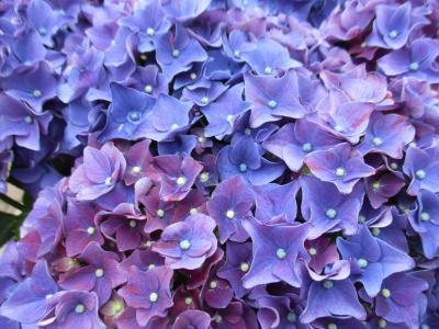 花開く紫陽花  * 八景島あじさい祭り* スタンプラリーでクーポンゲット