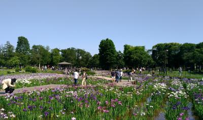 葛飾菖蒲まつり 水元公園の花菖蒲、紫陽花も