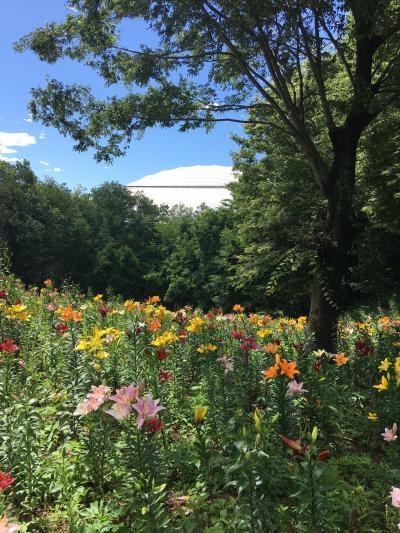 ちょっと暑いけど、ところざわゆり園、八国山緑地、北山公園菖蒲まつりへ