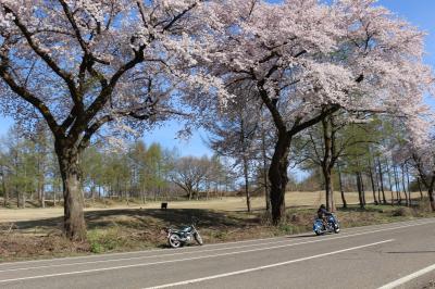 2019 桜(高田公園・松が峰)