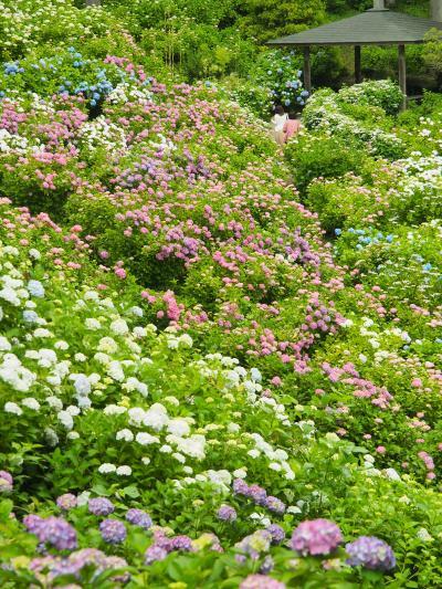 紫陽花に埋もれたいなら、服部農園あじさい屋敷