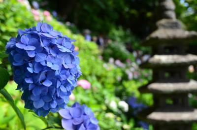 鎌倉で紫陽花めぐり~長谷寺&明月院
