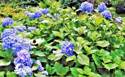 『入梅の京都・紫陽花とほんの少~しだけ食べ歩き♪』 (京都食べ歩き紀行・その4&うふふ♪♪のお花便りその3♪)