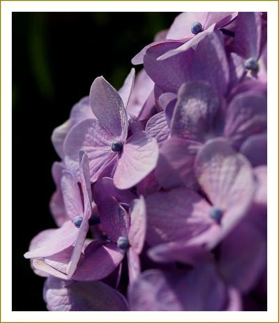 Solitary Journey[1993]住宅街を彩る紫陽花<美しい街づくり賞を受賞したあじさい通り&じゃがいも畑の白い花>広島県安芸津町