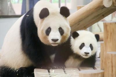 赤ちゃんたちに会いに再訪したアドベンチャーワールドは5月の猛暑日(4)ジャイアントパンダ特集:成長した彩浜ちゃんと大人パンダの可愛らしさ