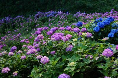 見頃を迎えた本光寺と形原温泉紫陽花まつり