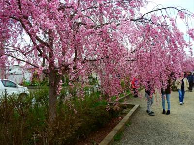 喜多方の桜と烏帽子山公園の夜桜