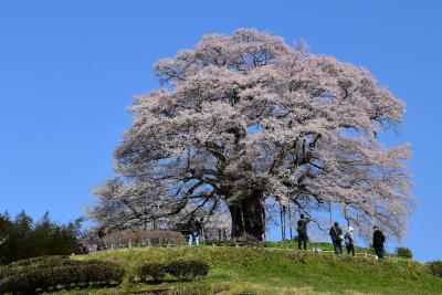 山里に咲く一本桜の醍醐桜~千年の歴史を春に語る 2019~(岡山)