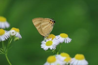 2019年森のさんぽ道で見られた蝶(21)ミズイロオナガシジミ、トラフシジミ、モンキチョウ、ヒメアカタテハ等