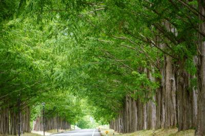 滋賀県 緑のメタセコイヤ並木見てきたよ。 よければ緑を サラサラ見てくださいな・・・