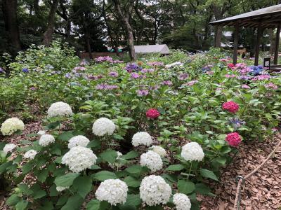 マダムの美食&紫陽花と百合&キャンドウ巡り旅イン博多