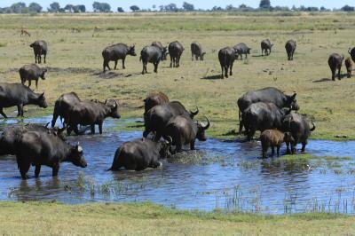 南部アフリカ紀行3日目午後、チョベ国立公園ボートサファリ