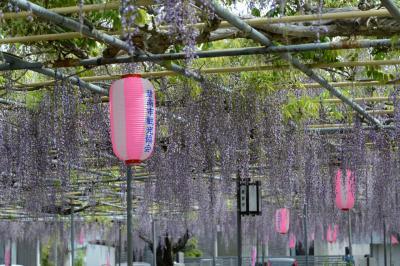 広藤園(碧南市)のフジ、大倉公園(大府市)のツツジを楽しむ
