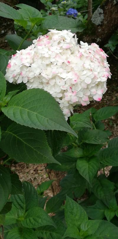 茨城で紫陽花(大宝天満宮)