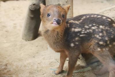 気温30度超えの6月の埼玉こども動物自然公園~レッサーパンダとコアラはアンラッキーVS生後1ヶ月と2週間のプーズーの赤ちゃんズが超キュート!
