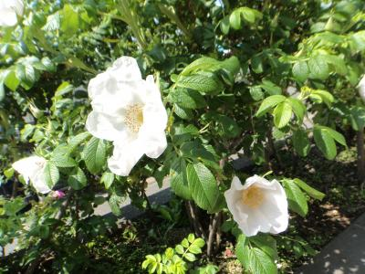 小清水方面に出かけたついでに原生花園に立ち寄りお花を眺めて来ました(^^)