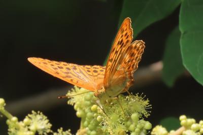2019年森のさんぽ道で見られた蝶(23)ミドリヒョウモン、イチモンジチョウ、アカシジミ等