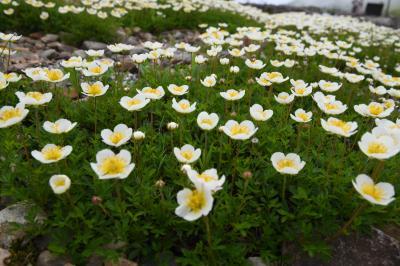初夏は毎日姿を変える高山植物・・・美しい!