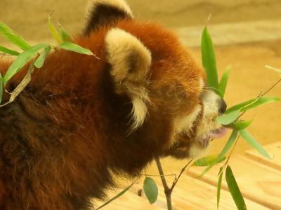 大崎公園子供動物園&江戸川区自然動物園 首都圏のご長寿パンダ飼育園を表敬訪問 22歳で竹の葉を食べれるキキ君に感嘆の念!!