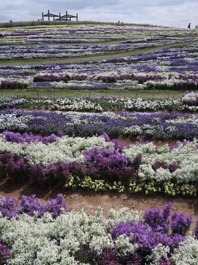 信州令和05 花フェスタd 北アルプスと花の丘 見ごろ ☆協働で花咲かせた大花壇