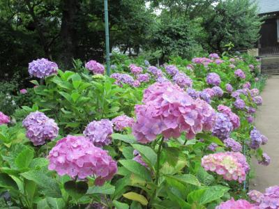 ひさしぶりの訪問・アジサイの寺 千葉県・本土寺へ【2019年6月】