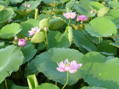 ベトナム ハノイ 蓮の花の湖