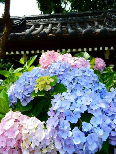 「 まつりの後の 白山神社 紫陽花へ  」 2019