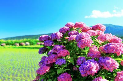 再びの開成町 ~田んぼと空と紫陽花と~