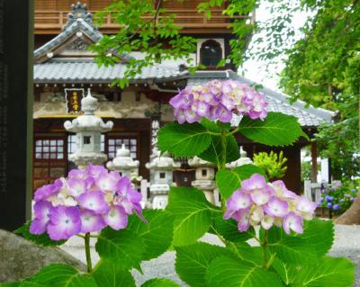 「曹源寺」のアジサイ_2019_幼木も頑張って花を咲かせていて、見頃間近でした(群馬県・太田市)