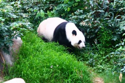 香港★大雨の海洋公園 メスパンダのインイン! ~海洋公園Ocean Park~