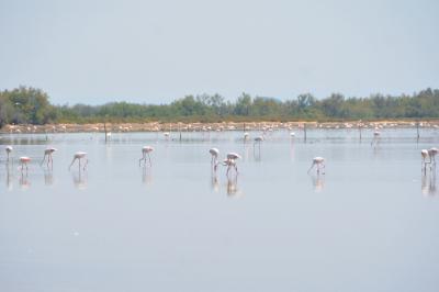 (3) 水田や塩田もあるカマルグ フラミンゴなどの野鳥、白馬や野牛との遭遇が楽しめるサファリツアーは最高!